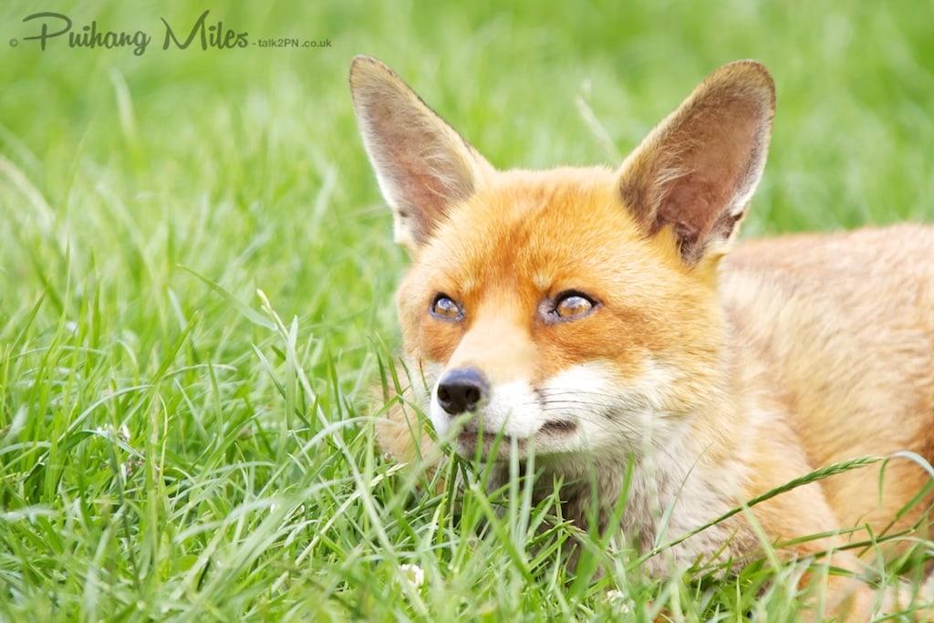 Fox looking upwards