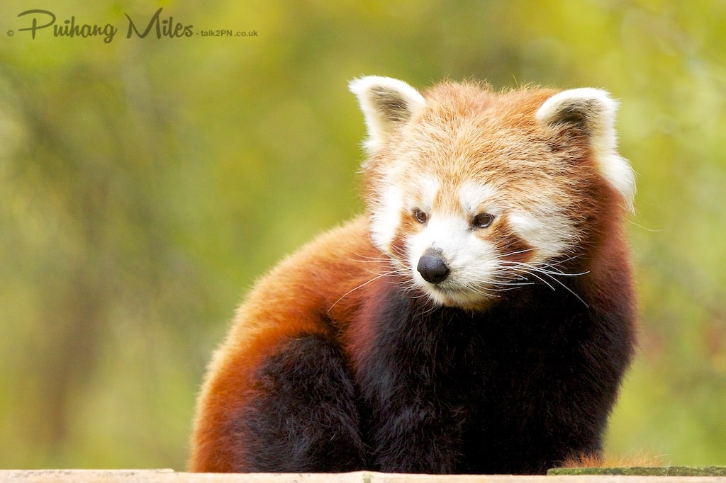 Thoughtful red panda