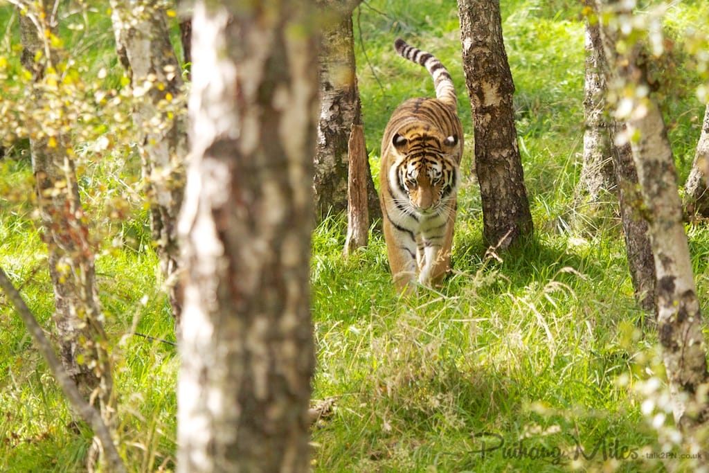 Tiger in the woods at Highland Wildlife Park