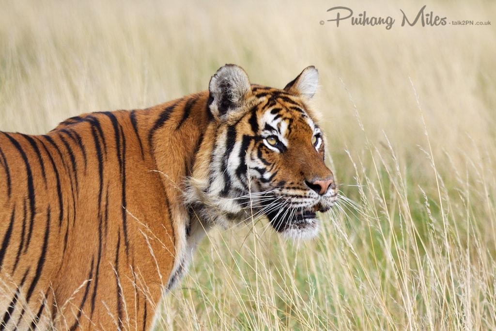 Tigress in long grass