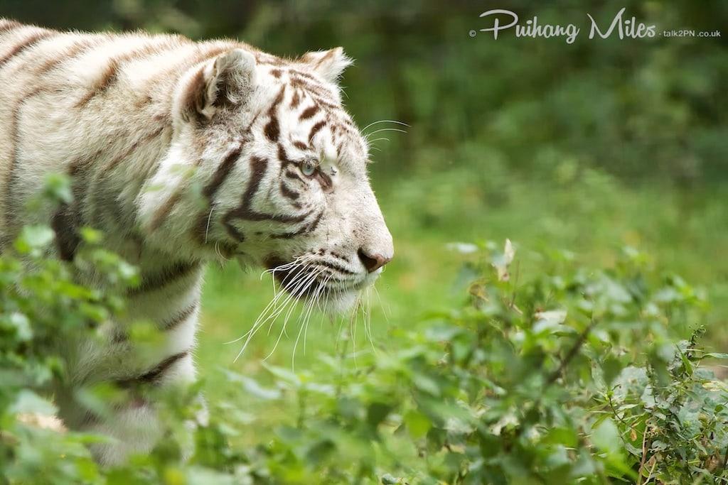 White tiger from Le Parc des Félins