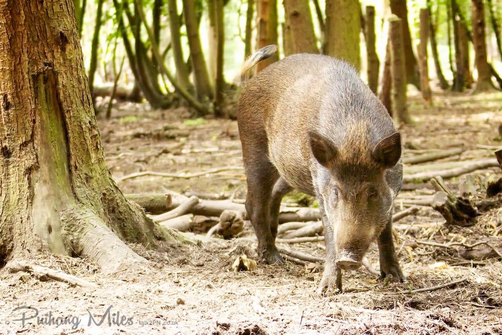 Wild Boar at the Wildwood Trust