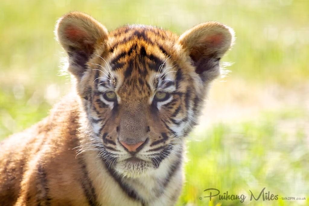 12 week old Bengal Tiger Cub taken at Wingham Wildlife Park