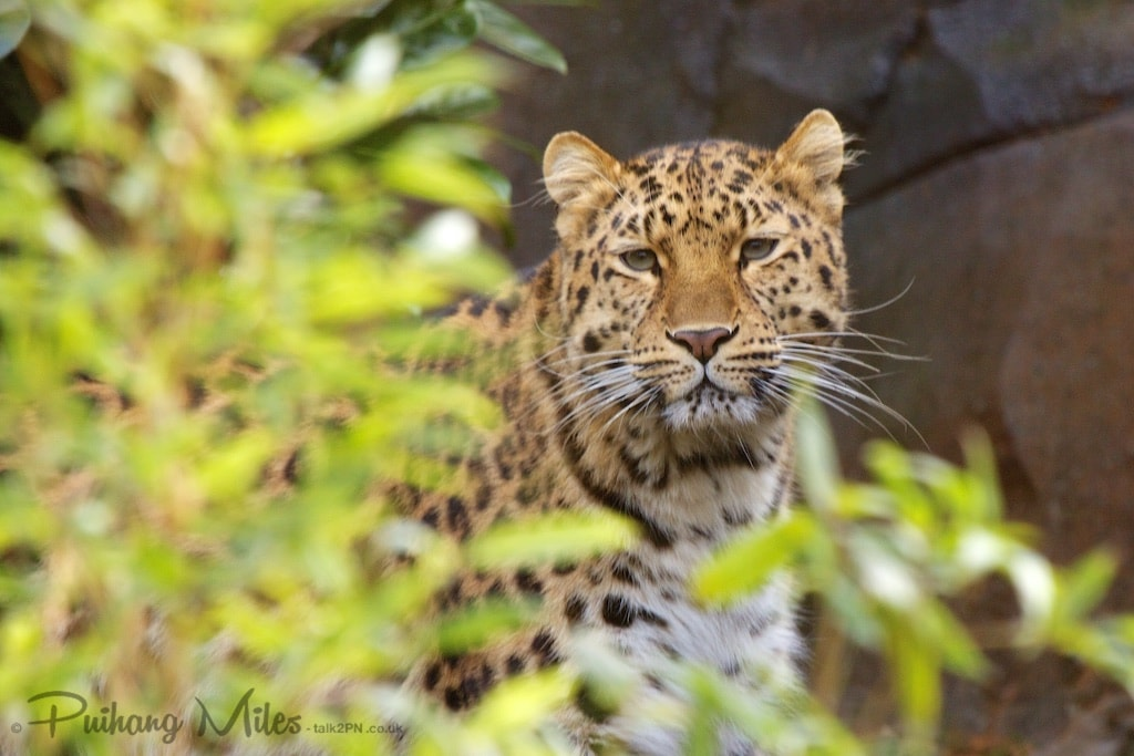 Amur Leopardess peering around foliage photographed at Colchester Zoo