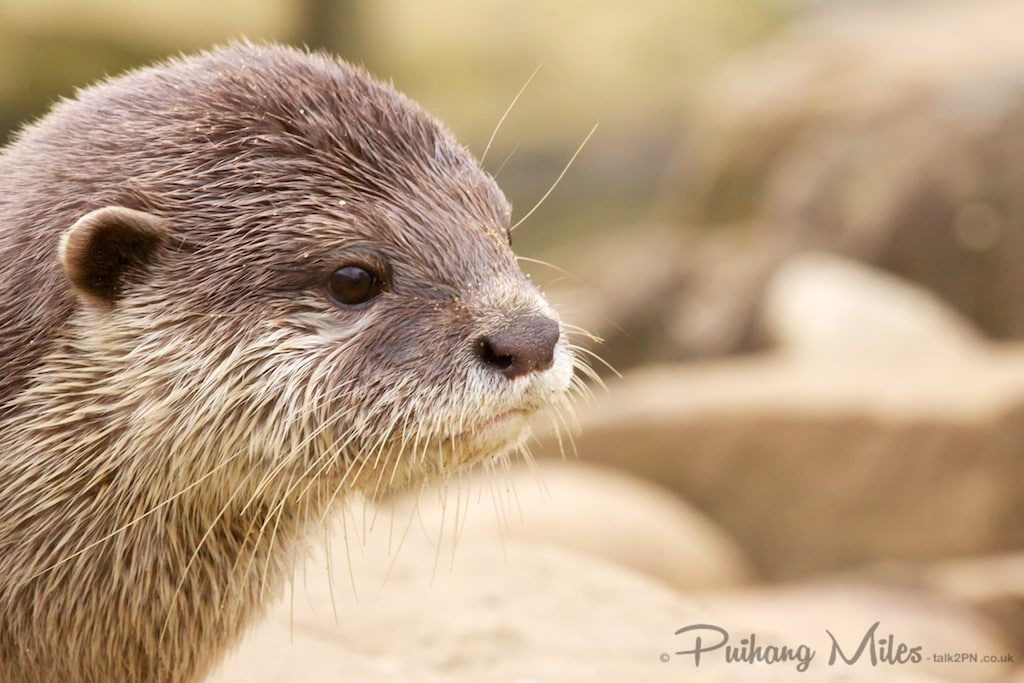 asian short clawed otter photographed at Paradise Wildlife Park by Pui Hang Miles