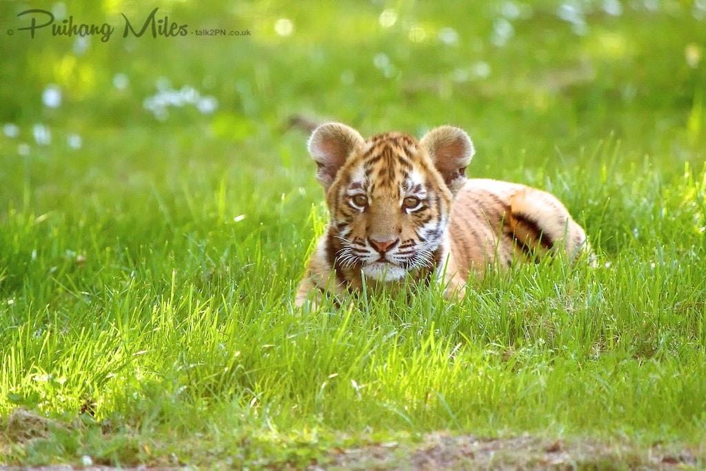 Bengal Tiger Cub on grass at Wingham Wildlife Park