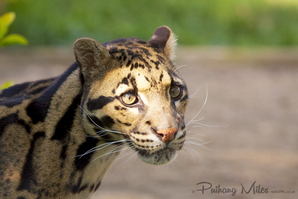 Clouded Leopard photographed at WHF Smarden