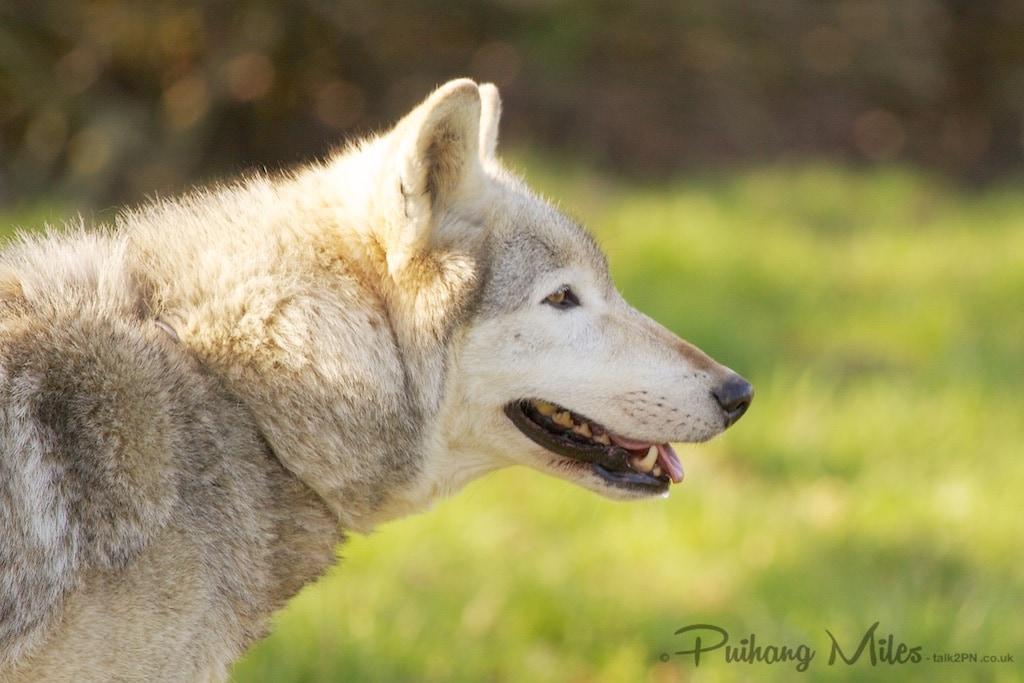 Duma, ambassador for walking with wolves