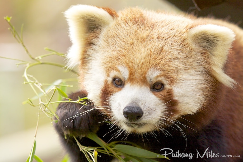 Red Panda photographed by Pui Hang Miles at Colchester Zoo