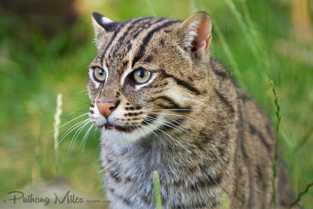 Juvenile fishing cat from WHF Smarden