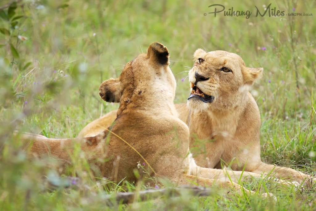 Lionesses photographed during our south african safari