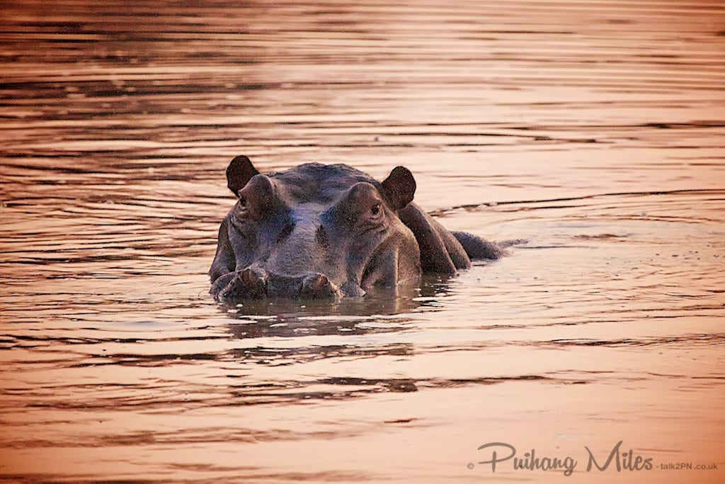 Hippo in water at sunset