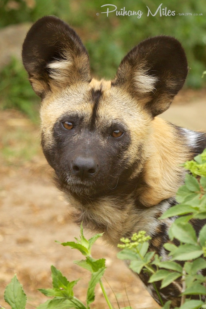 Wild Dog photographed by Pui Hang Miles