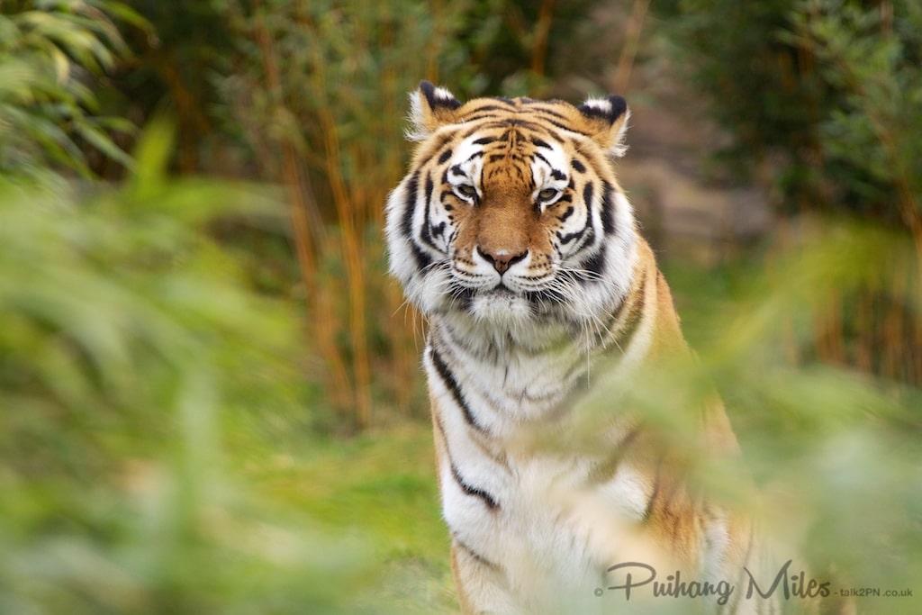 Amur Tiger by Pui Hang Miles