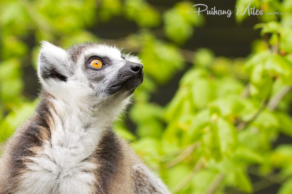 Lemur at Colchester Zoo looking up