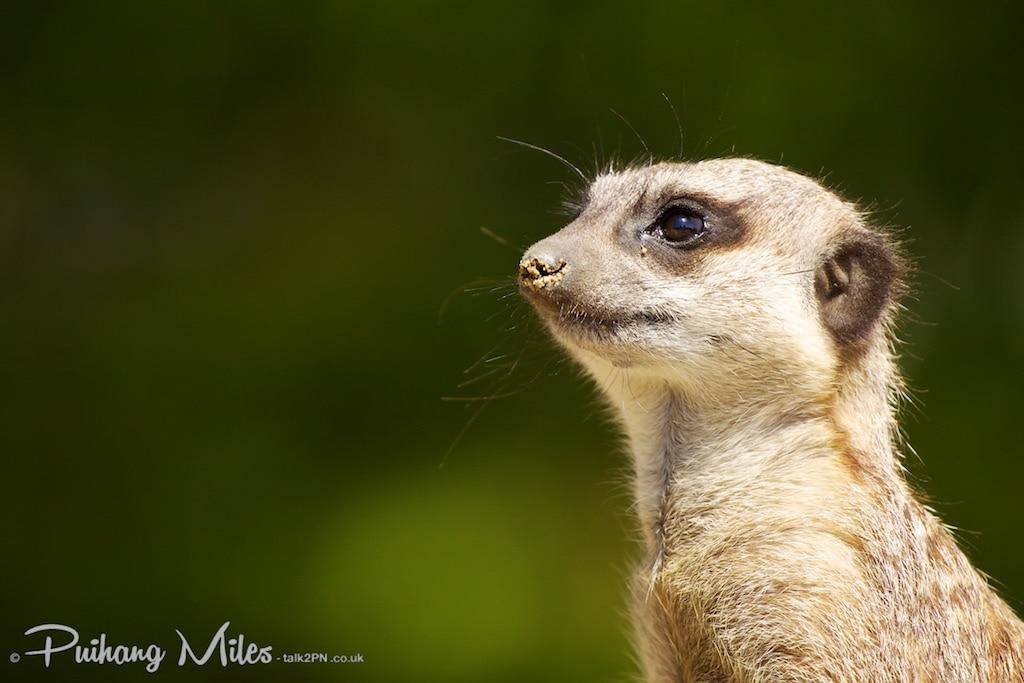 Meerkat in profile