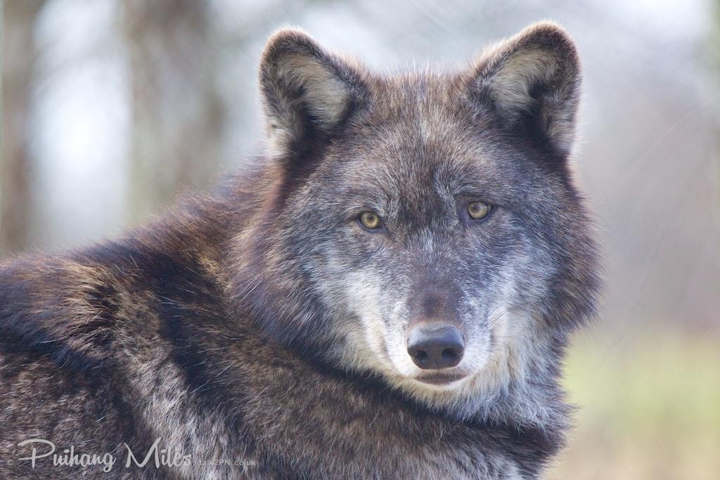 Mosi, North American Black Wolf