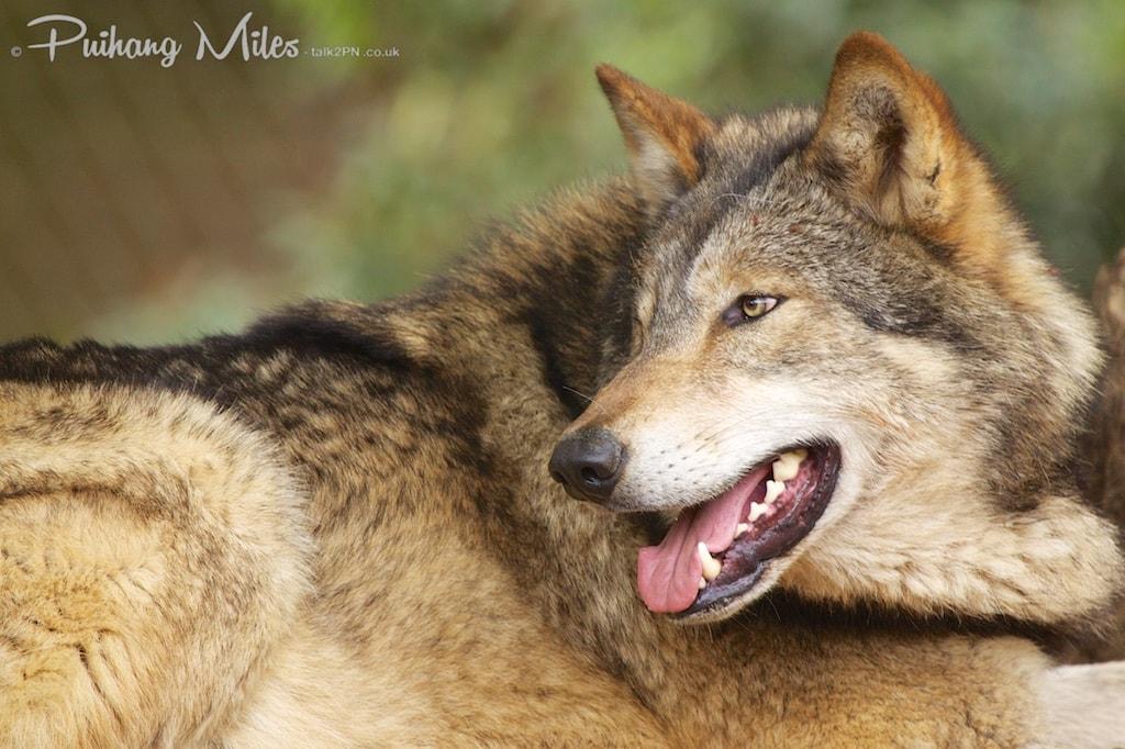 Panting wolf by Pui Hang Miles