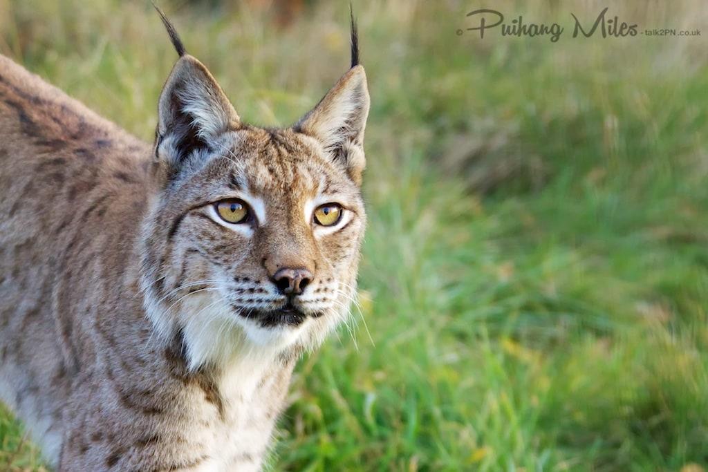 Eurasian Lynx at WHF Smarden
