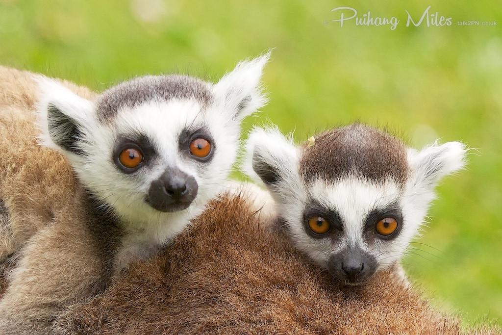 Ring-Tailed Lemur twins