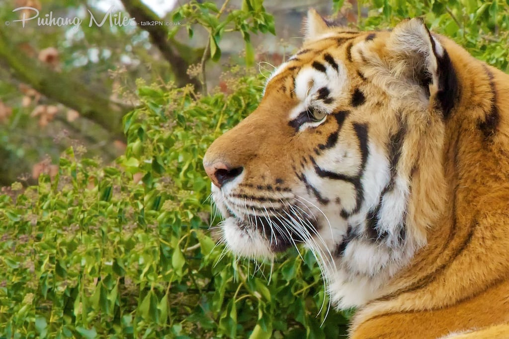 Aternoon tea with the tigers at Paradise Wildlife Park