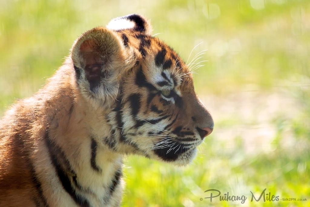 Royal Bengal Tiger Cub profile