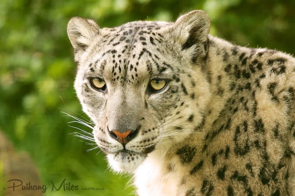 A Snow Leopard of WHF Smarden