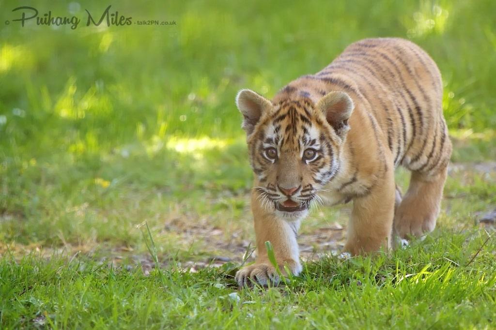 Tiger cub practicing stalking at Wingham Wildlife Park