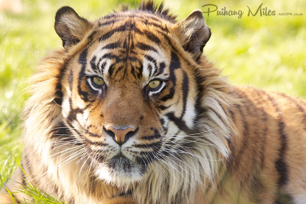 Sumatran Tiger as photography by Pui Hang Miles at WHF Smarden