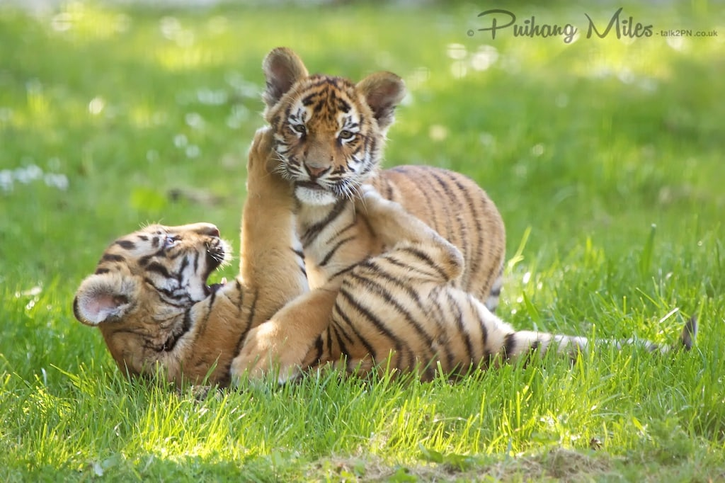 Tiger cubs play fighting in the grass