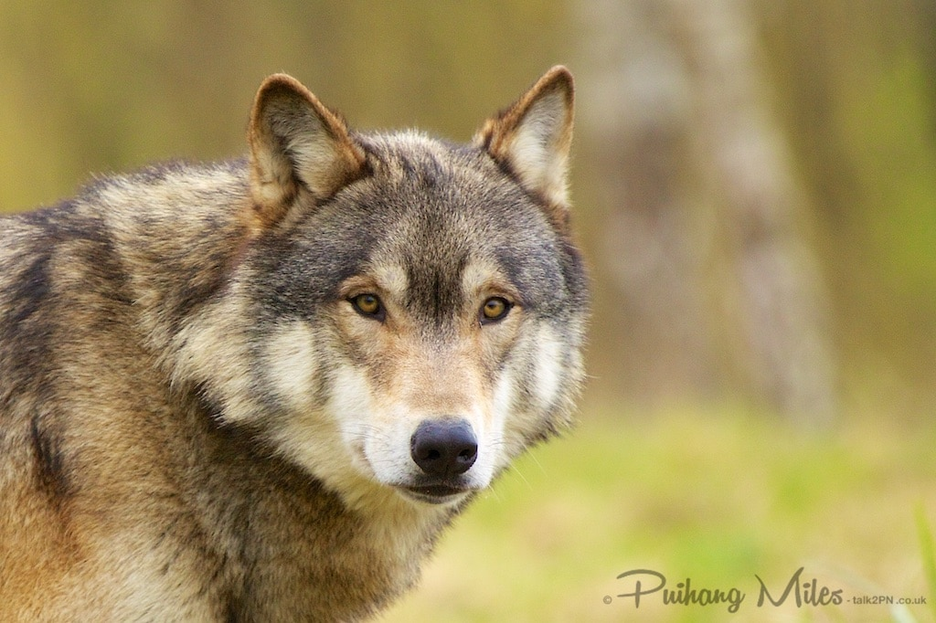 Hybrid wolf from walking with wolves