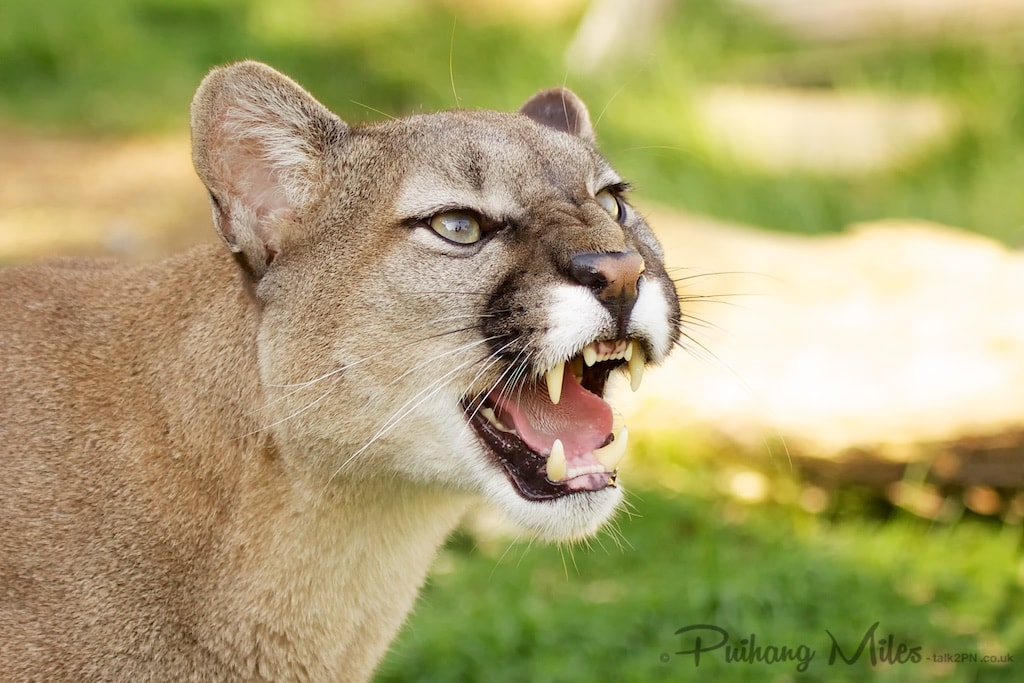 Snarling Puma from WHF Smarden