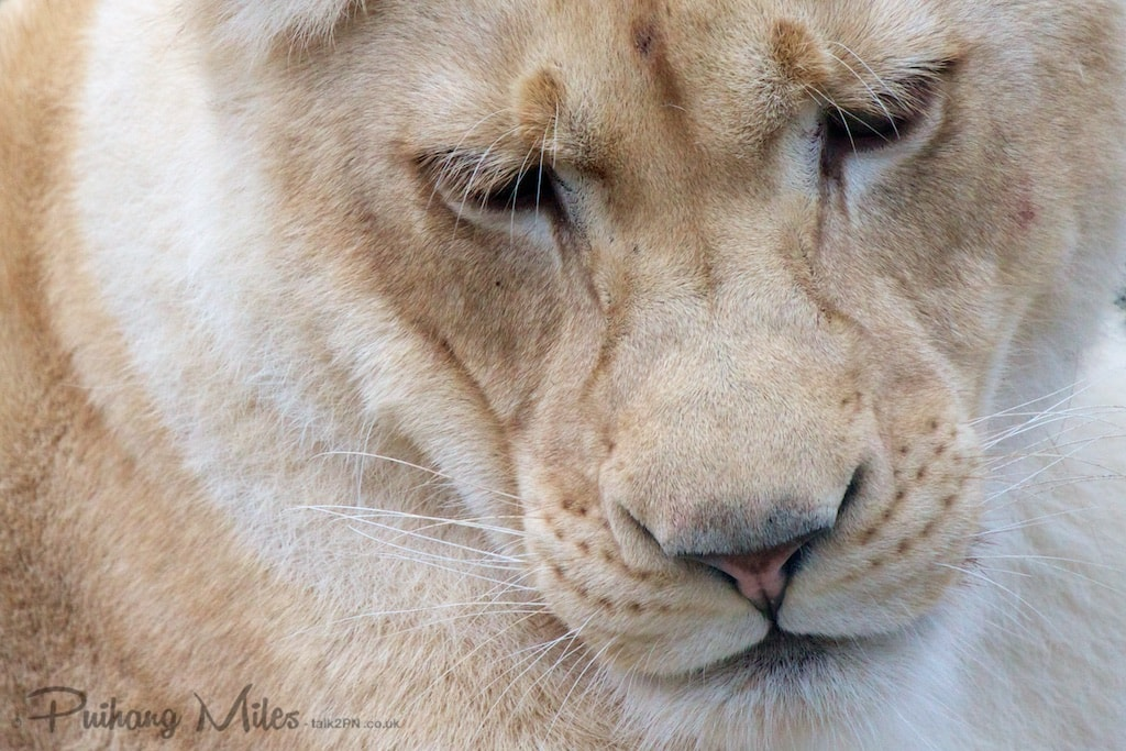 Velvet Nose of a White Lion by Pui Hang Miles