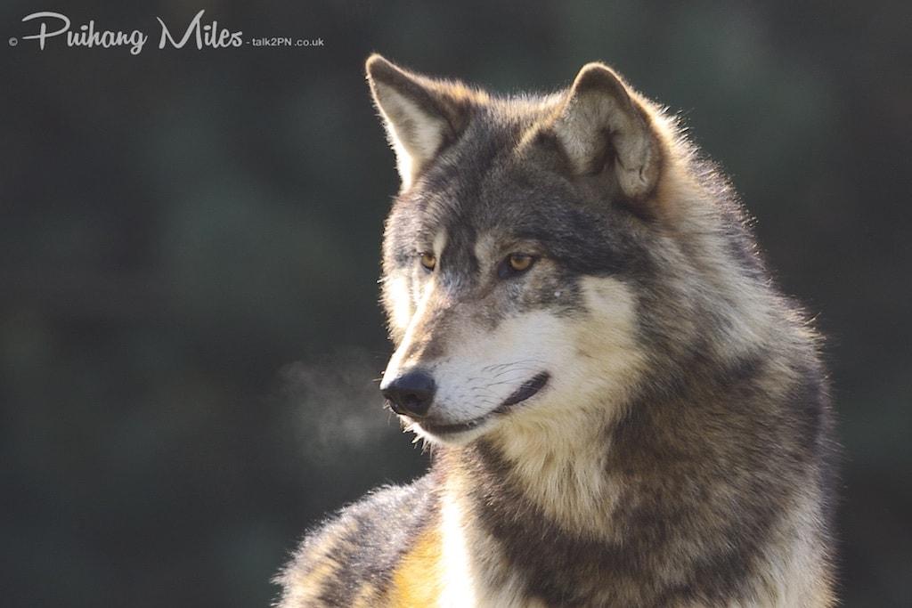 Wolf breath